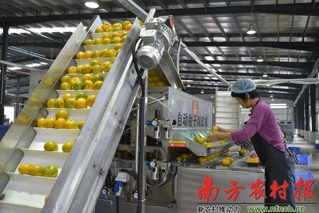 45亿元加工产业集群 成就新会陈皮航母