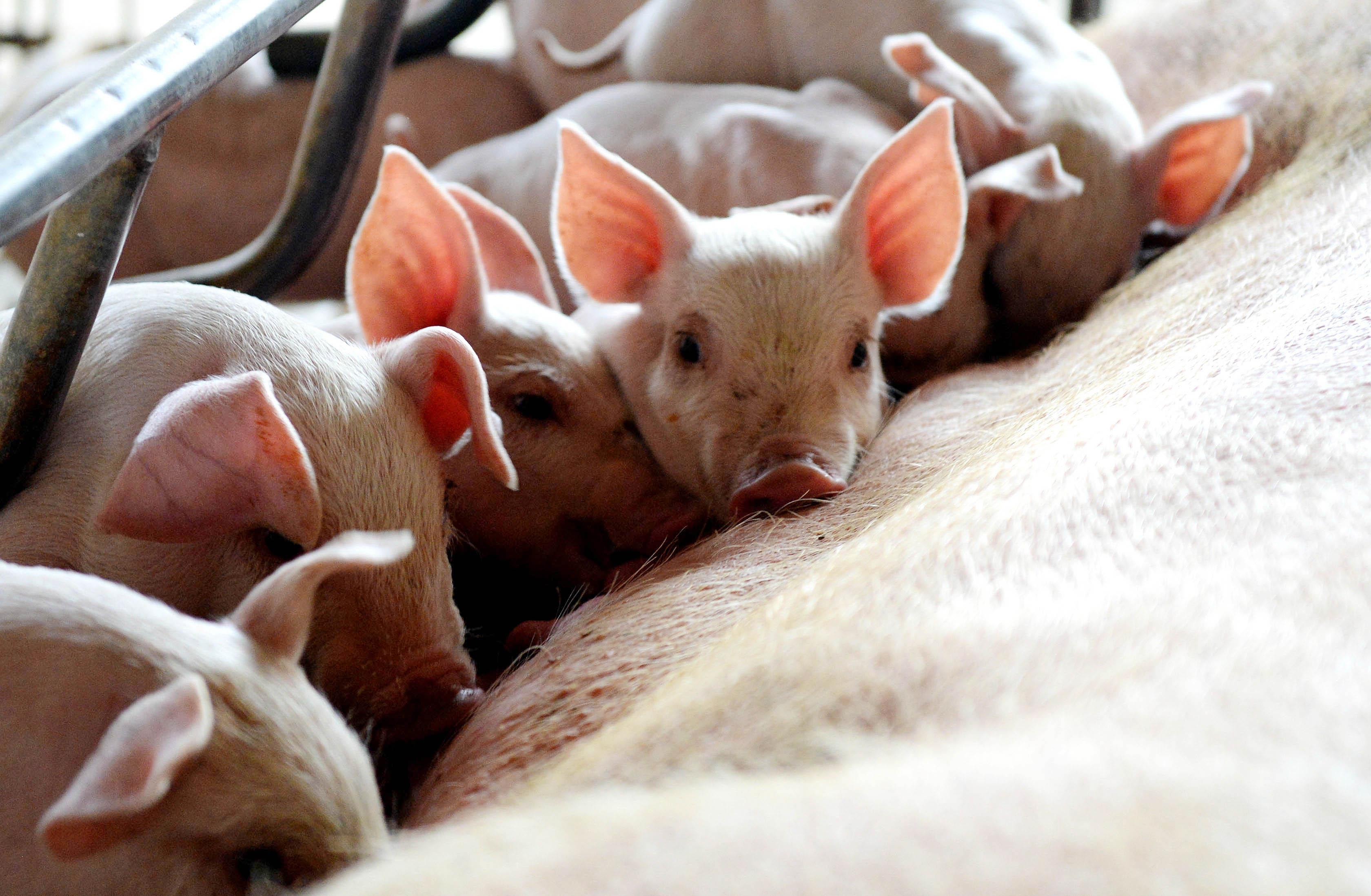 养殖专业户纳入备案范围!《广东省农业农村厅种畜禽生产经营许可证发放和畜禽养殖备案办法》印发
