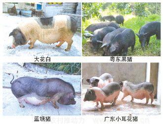 从四大名猪到一枝独秀,广东地方品种猪如何从市场突围?