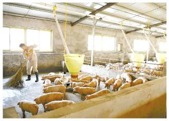 猪业拐点||猪价半年跌60% 行业寒冬已至?