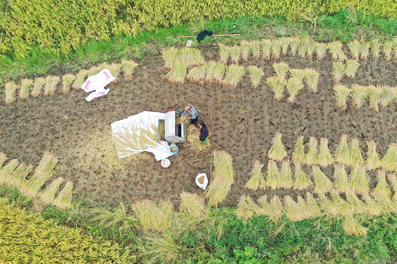 秋粮已收获八成,全年粮食产量将再创新高
