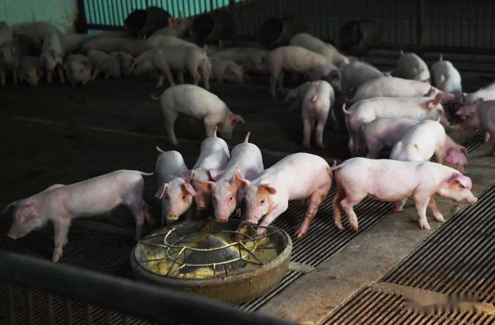 计划5-10年形成产业高质量发展新格局,六部门联合印发生猪产业持续健康发展意见